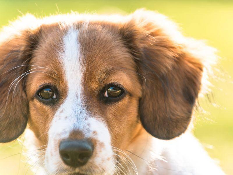 Schöne, treue Augen sind auch typisch für den netten Hund – Bild: Shutterstock / Mattias Kvist