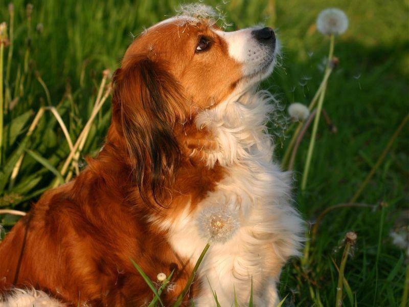 Ausgewachsen wird der schöne Hund rund 40 cm groß und bis zu 11 kg schwer – Bild: Shutterstock / E.-Spek