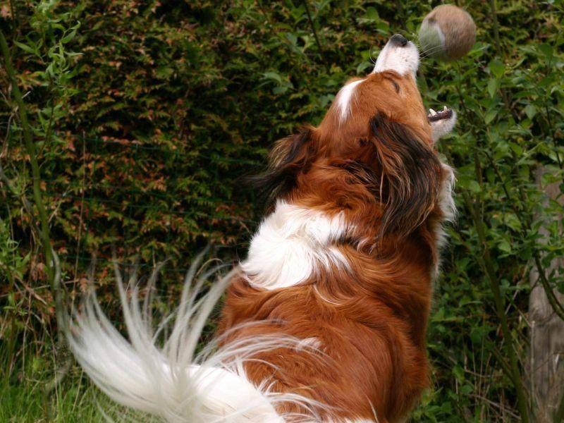 Spielen findet der süße, ausdauernde Kooikerhondje klasse! – Bild: Shutterstock / E.-Spek
