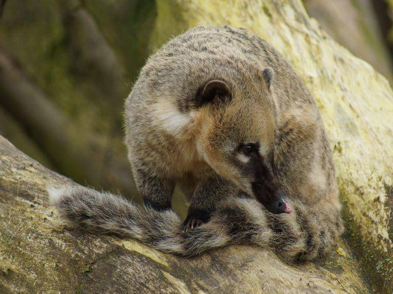 Auch der geringelte Schwanz ist typisch für den Nasenbären – Bild: Shutterstock / poeticpenguin