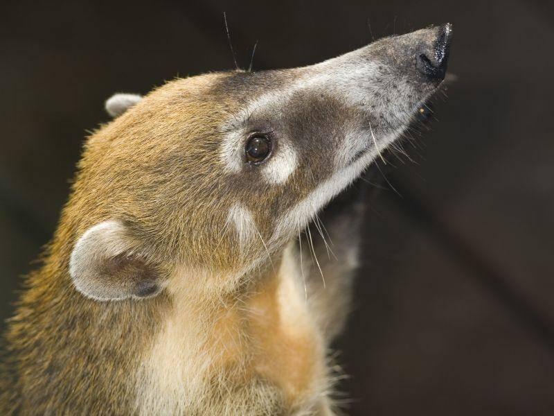 """""""Was, eine lange Nase? Ich doch nicht!"""", scheint sich dieser süße Nasenbär zu denken – Bild: Shutterstock / Joseph Calev"""