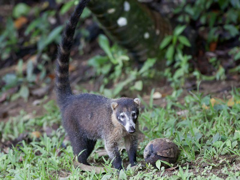 Na, hast du was zu essen gefunden, kleiner Nasenbär? – Bild: Shutterstock / LuismiX