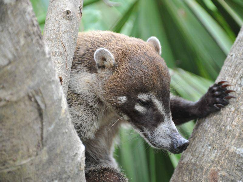 Ihre Nahrung suchen die Allesfresser am Boden wie in Bäumen – Bild: Shutterstock / Paul Briden