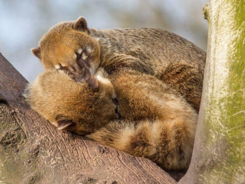 Und jetzt sind alle Nasenbären müde. Gute Nacht! – Bild: Shutterstock / Micha Klootwijk