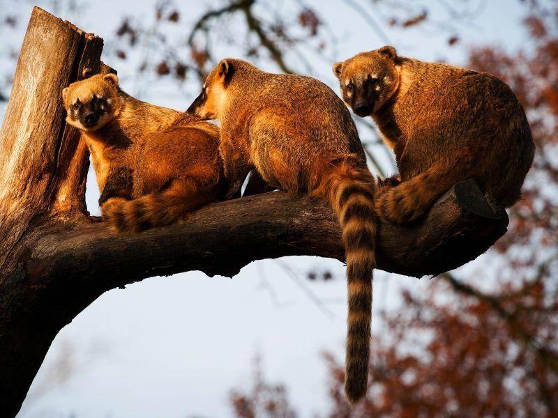 Weibliche und junge Nasenbären leben in Grüppchen zusammen – Bild: Shutterstock /jurra8