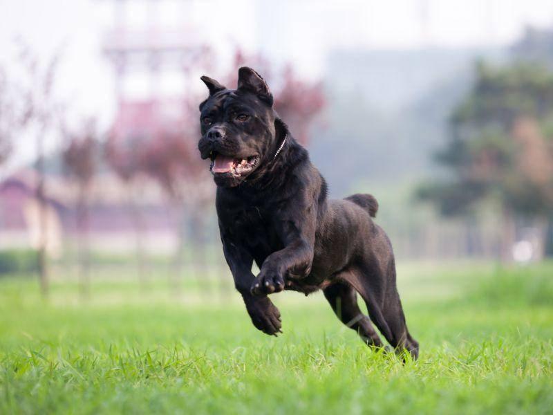 Der starke, zu Dominanzverhalten neigende Hund gehört in die Hände verantwortungsvoller Halter – Bild: Shutterstock / L.F