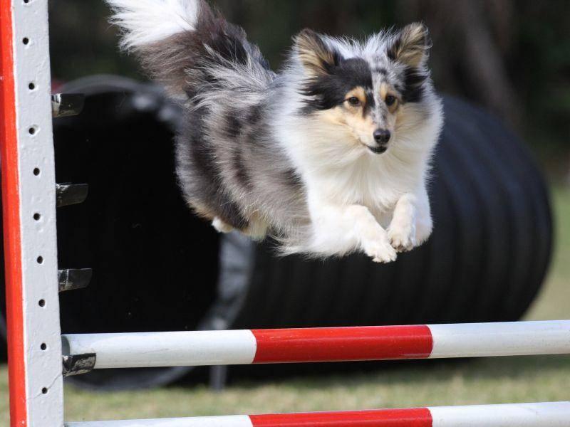 Springen können sportliche Vertreter dieser Hunderasse wie die Profis – Bild: Shutterstock / Mackland