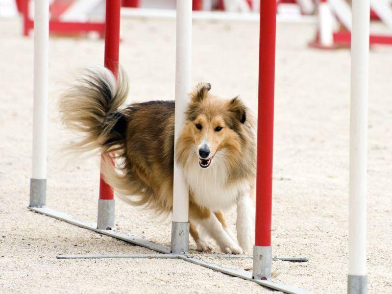Hundesport wie Agility eignet sich gut für diesen aktiven Hund – Bild: Shutterstock / cynoclub