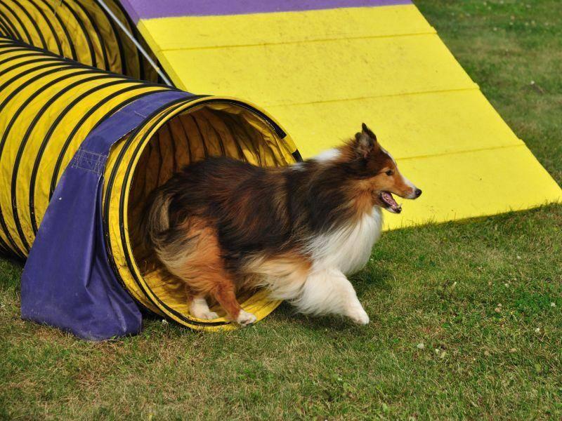 """""""Und ab durch den Tunnel!"""", heißt es bei diesem Shetland Sheepdog – Bild: Shutterstock / Mark Herreid"""