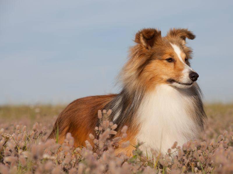 Der schöne, langhaarige Shetland Sheepdog sieht dem Collie sehr ähnlich – Bild: Shutterstock / Lenkadan