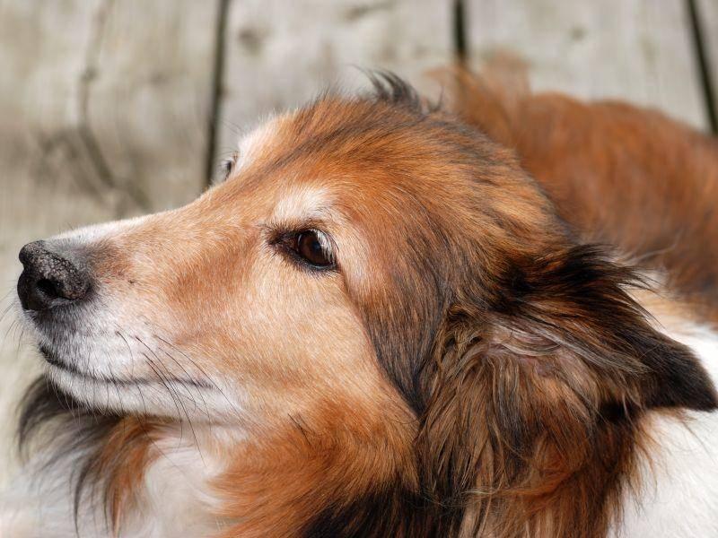 Der Shetland Sheepdog ist ein freundlicher, sensibler und kluger Hund – Bild: Shutterstock / Michael C. Gray