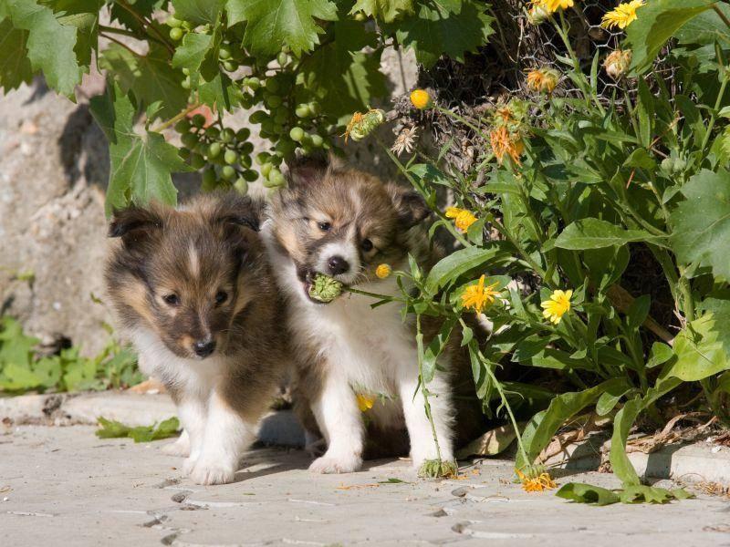 Wie süß: Ein paar Shetland-Sheepdog-Welpen auf Entdeckungstour – Bild: Shutterstock / Lenkadan