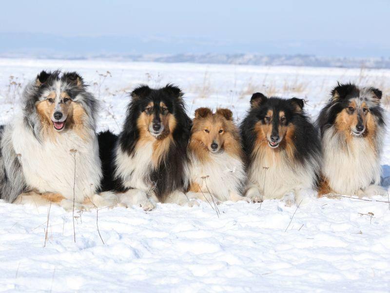 Die verschiedenen Farbkombinationen machen jeden Shetland Sheepdog einzigartig – Bild: Shutterstock / Zuzule