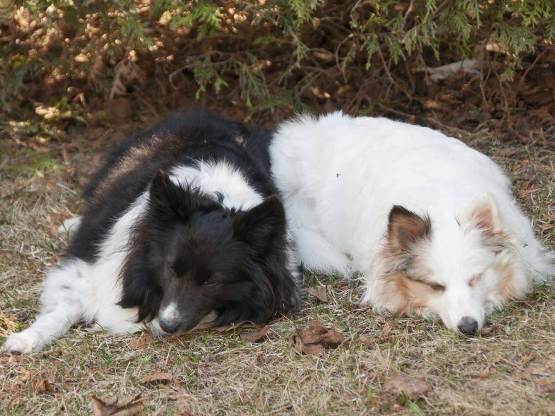 Zwei Shetland Sheepdogs sind müde: Schlaft gut, ihr beiden! – Bild: Shutterstock / Pierdelune
