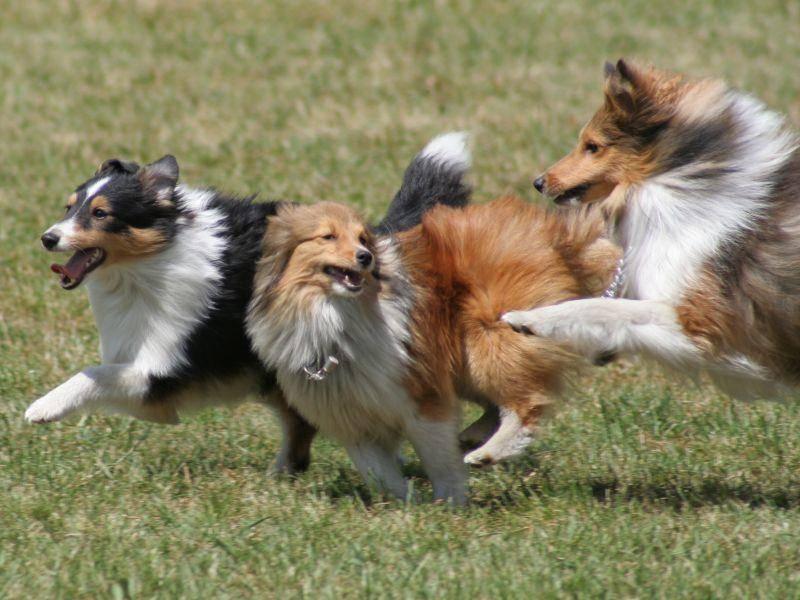 """""""Toben macht Spaß!"""" Darin sind sich alle Shetland Sheepdogs einig – Bild: Shutterstock / Piotr Zajac"""
