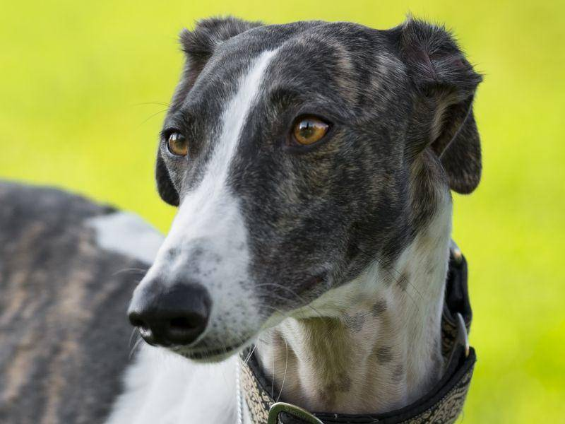 Der Greyhound: Ein schönes, stolzes und sehr schnelles Tier – Bild: Shutterstock / tsik