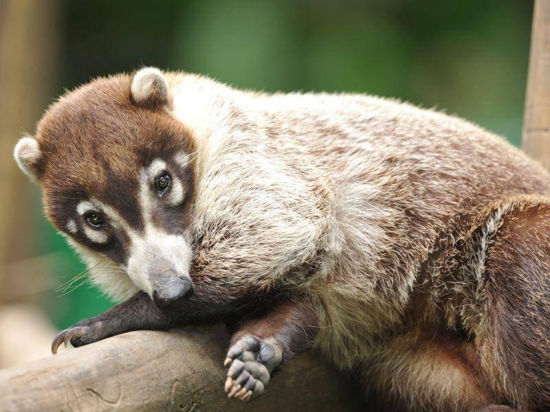 """""""Gib mir fünf!"""", scheint sich dieser süße Nasenbär zu denken – Bild: Shutterstock / worldswildlifewonders"""