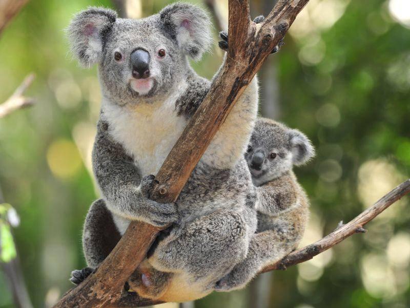 Stolze Koala-Mama posiert mit ihrem Baby-Bärchen – Bild: Shutterstock / worldswildlifewonders