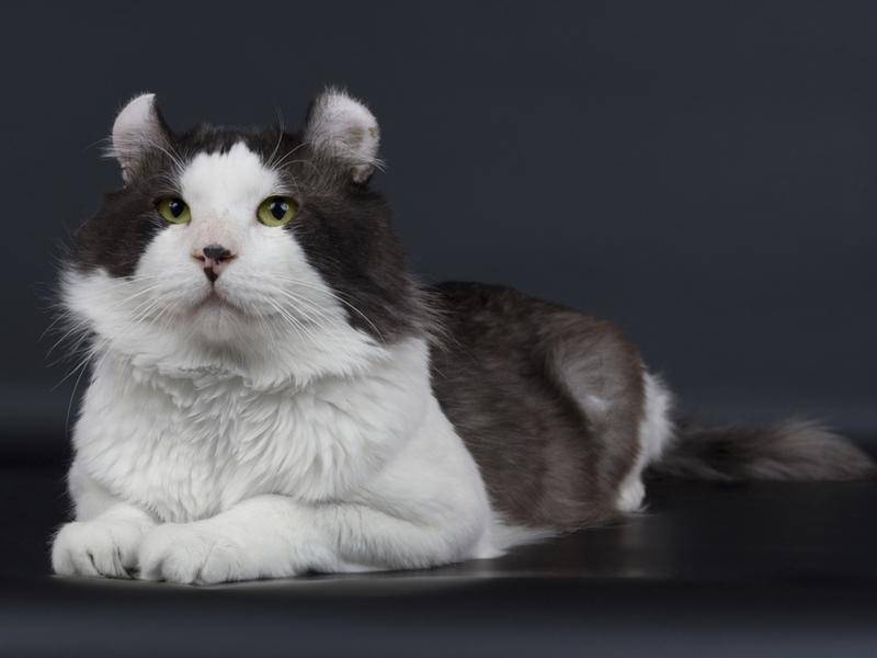 Die Nähe zum Menschen ist der American Curl Cat sehr wichtig – Bild: Shutterstock / Vasiliy Khimenko