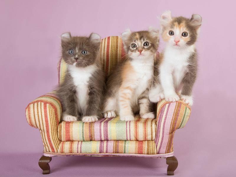 Die Kitten der American Curl Cat sind besonders niedlich – Bild: Shutterstock / Linn Currie