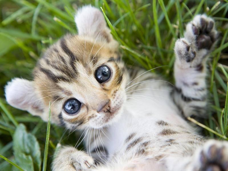 ... oder mit kurzem Fell wie bei diesem süßen Kitten – Bild: Shutterstock / Robynrg