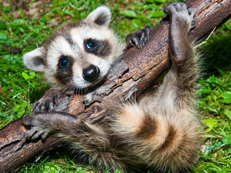 Ist das Waschbären-Yoga? – Bild: Shutterstock / Jay Ondreicka