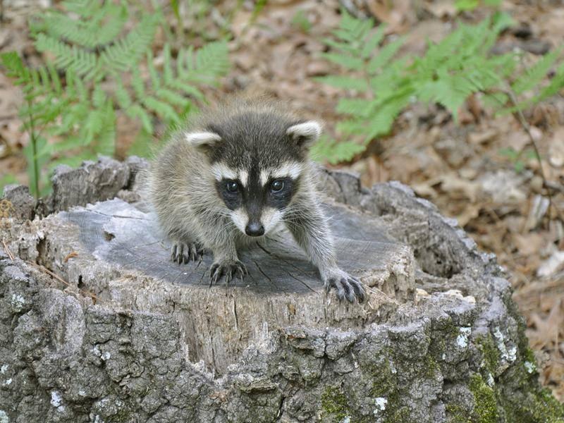Gute Tarnung auf dem Baumstumpf, kleiner Mini-Waschbär – Bild: Shutterstock / Becky Sheridan