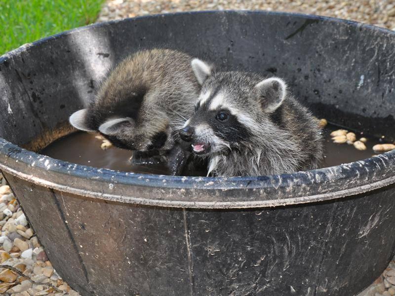 Bei den beiden Waschbären-Babys ist der Name Programm: Waschtag – Bild: Shutterstock / Becky Sheridan