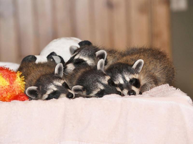 Die kleinen Waschbären finden: Es ist Zeit für ein Nickerchen – Bild: Shutterstock / Becky Sheridan