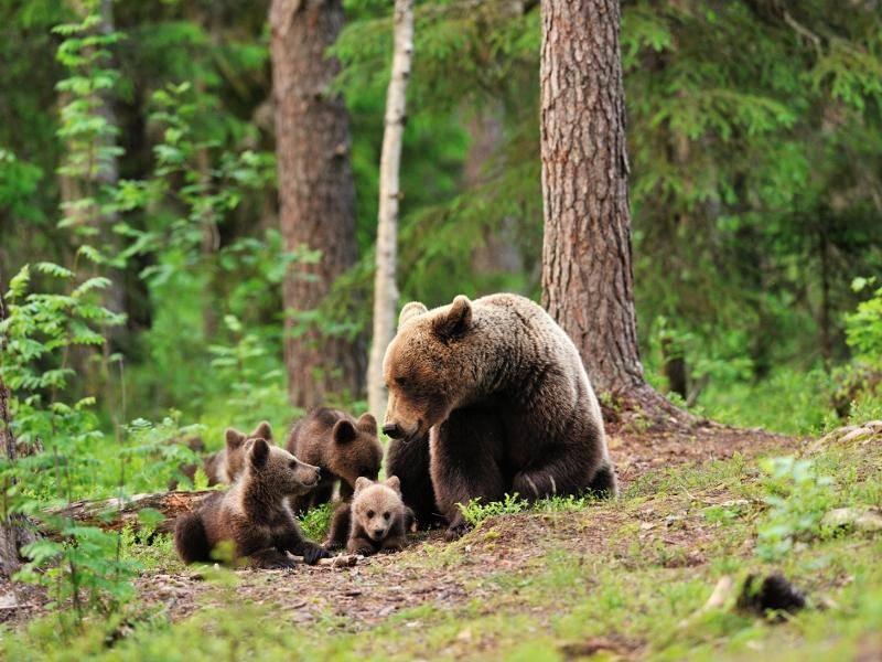 Waldbewohner wie diese Bärenfamilie bekommt man nur selten zu Gesicht – Bild: Shutterstock / Erik Mandre