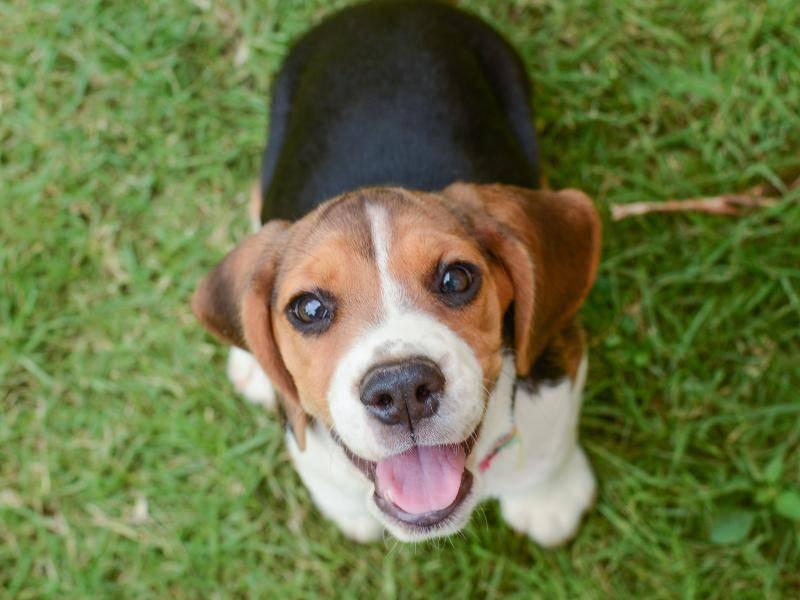 """Herziger Beagle-Welpe: """"Wollen wir spielen?"""" – Bild: Shutterstock / SomPhoto"""