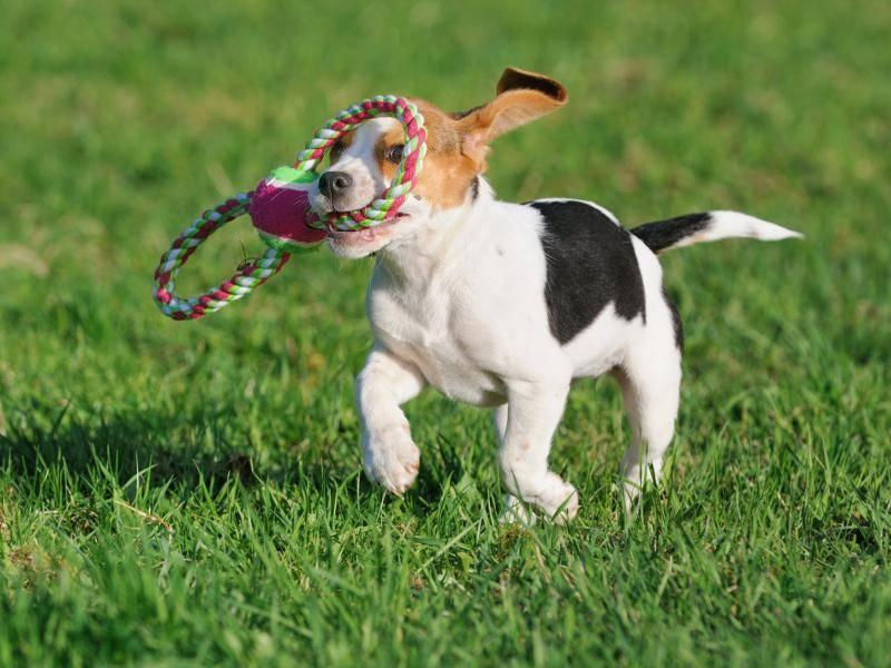 Dieser Beagle-Welpe hat mit seinem Spielzeug ganz viel Spaß – Bild: Shutterstock / AnetaPics