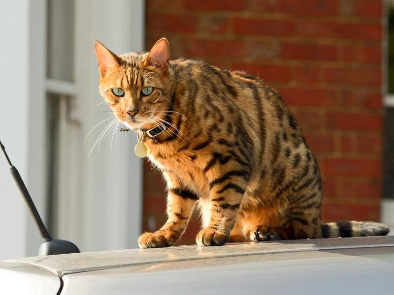 Wahnsinn, wie die Augen einer Bengal-Katze leuchten! – Bild: Shutterstock / Martin Christopher Parker