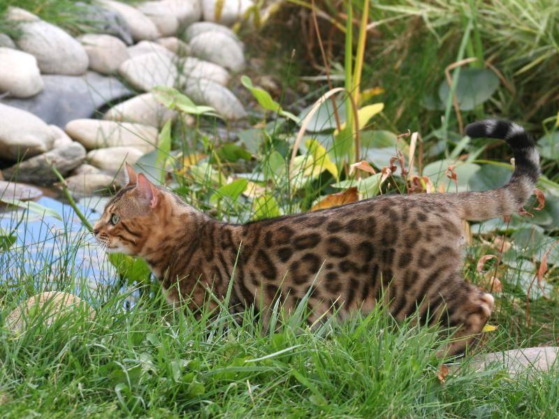 Faszination Gartenteich: Die meisten Bengalen sind nicht wasserscheu – Bild: Shutterstock / Robynrg