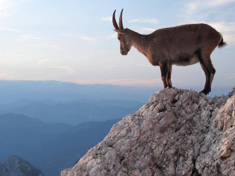 Diese Ziege hat einen schönen Ausblick über die Julischen Alpen in Slowenien – Bild: Shutterstock / Standa Riha