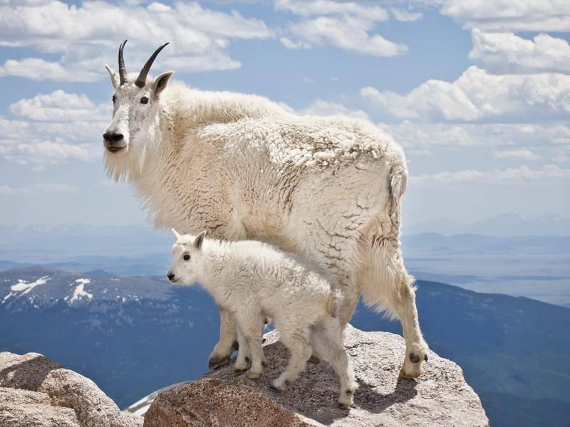 Diese flauschigen Bergziegen wohnen in den Rocky Mountains – Bild: Shutterstock / Josh Schutz