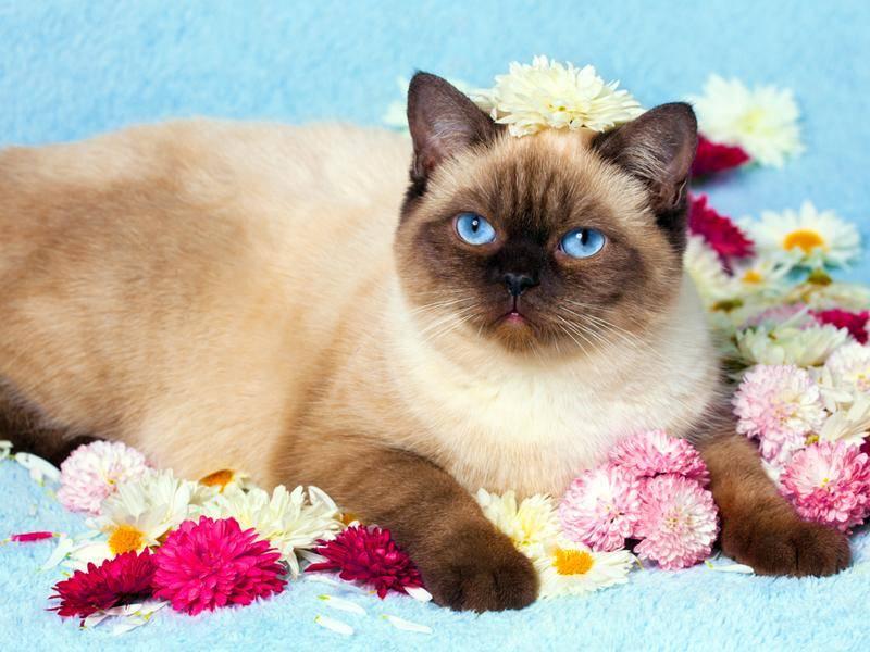 Die British Colourpoint ist eine besondere Form der Britisch-Kurzhaar-Katze – Bild: Shutterstock / vvvita