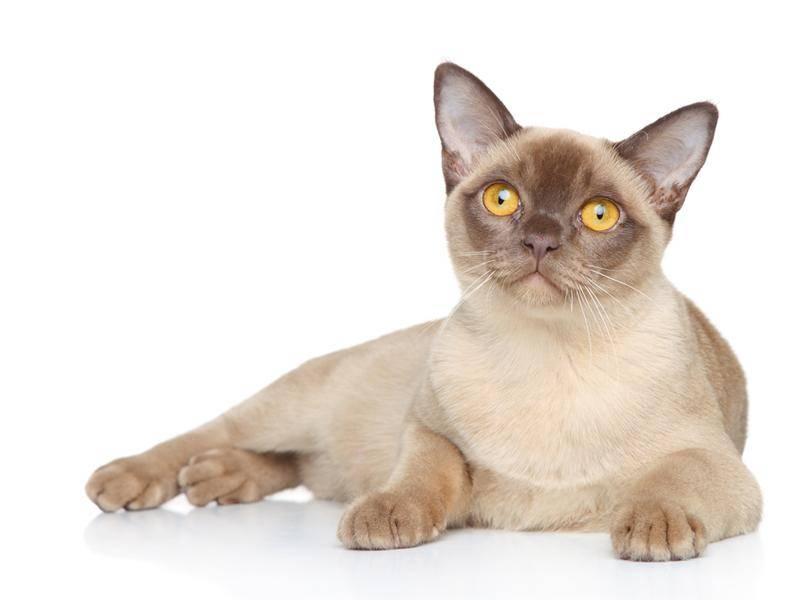 Die Burmakatze mit ihrem seidigen Fell ist eine Verwandte der Siam – Bild: Shutterstock / Jagodka