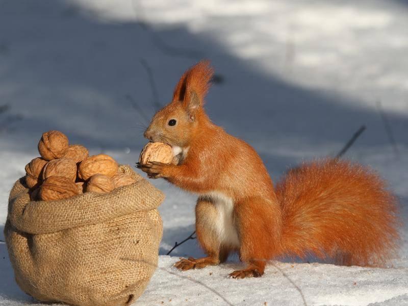 """""""So viele Nüsse für mich allein!"""" – Bild: Shutterstock / FomaA"""