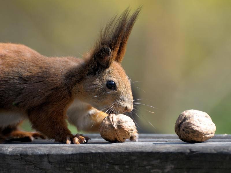 Dieses Eichhörnchen tastet sich vorsichtig an die Nuss – Bild: Shutterstock / Pavlo Burdyak