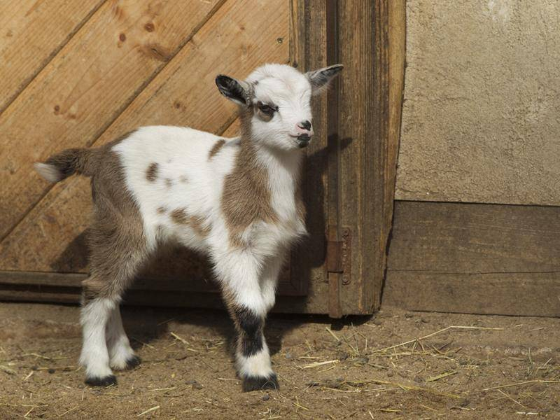 Gescheckt ist auch eine schöne Farbe für eine kleine Ziege – Bild: Shutterstock / Ana Gram