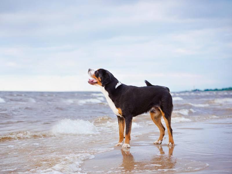 Ein Großer Schweizer Sennenhund genießt den Meerblick – Bild: Shutterstock / otsphoto