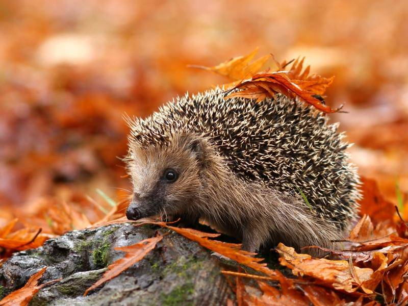 Ein kleiner, knuffiger Igel im Wald – Bild: Shutterstock / Miroslav Hlavko