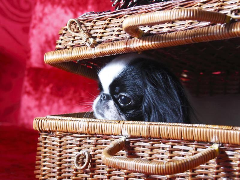 Besonders als Familienhunde sind die kleinen Asiaten beliebt – Bild: Shutterstock / eleana