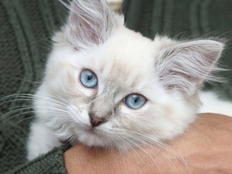 Ragdoll-Katzen kuscheln besonders gerne – Bild: Shutterstock / cath5