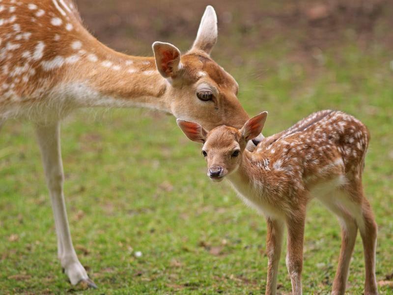 Die Mama passt gut auf ihr kleines Rehkitz auf – Bild: Shutterstock / ehtesham