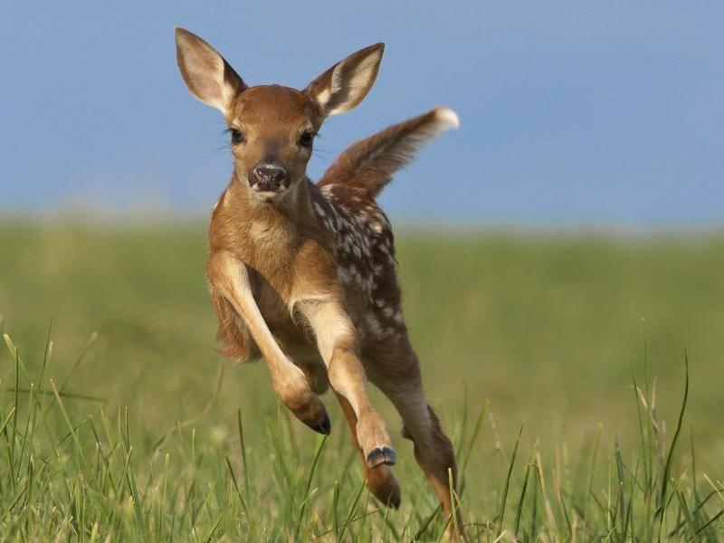 """Ein Rehkitz gibt Gas: """"Hüpfen ist so schön!"""" – Bild: Shutterstock / Joe McDonald"""