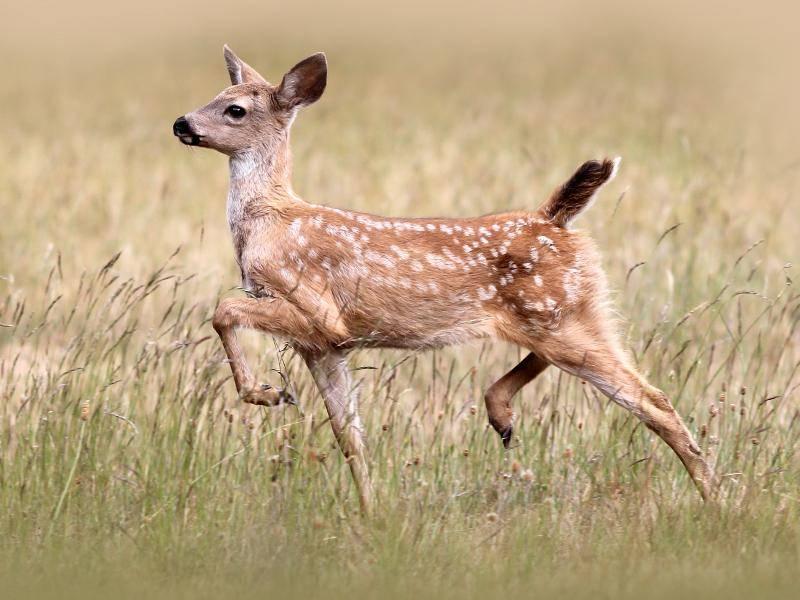 Dieser Jungspund übt schonmal zu gehen wie ein stolzer Hirsch – Bild: Shutterstock / Jody Ann