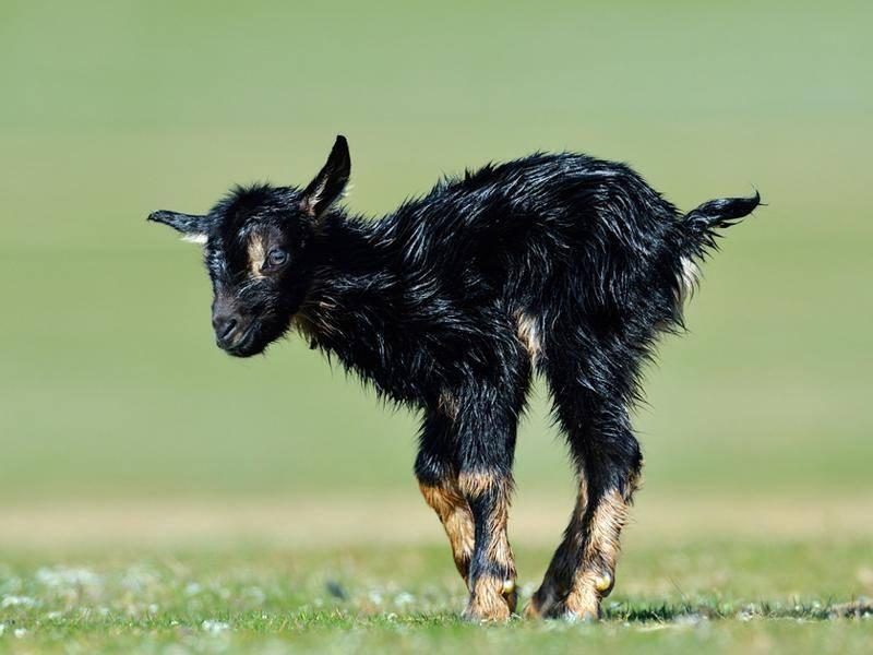 Dieses putzige Zicklein ist gerade erst geboren – Bild: Shutterstock / Mircea BEZERGHEANU