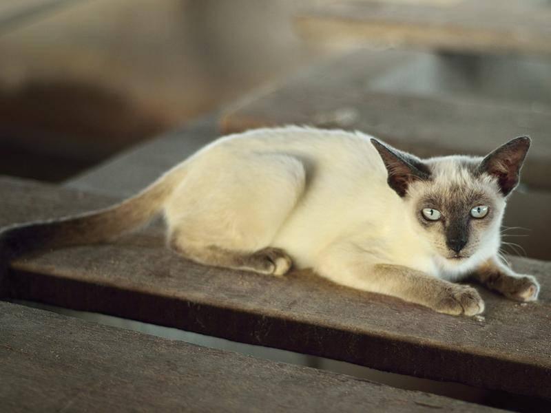 Die bekannteste Point-Katze ist die Siam – Bild: Shutterstock / pixbox77